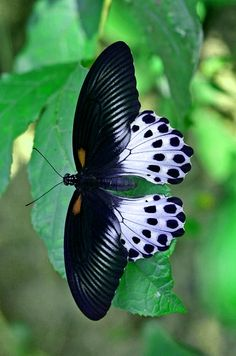 El Clásico Blanco y negro ... gustan el modelo de ala de esta Mariposa. Nuevas inspiraciones.....
