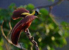 Video: alle soorten paradijsvogels
