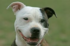 This is what an APBT owner is greeted with everyday.  Pit Bulls are always smiling.  No frothy mouth or teeth bearing here :)