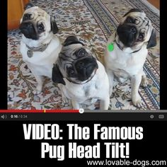 VIDEO: The Famous Pug Head Tilt ►► http://lovable-dogs.com/video-the-famous-pug-head-tilt/?i=p