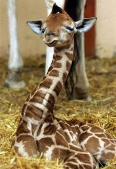 giraffes are just the coolest. they are super curious and love neck rubs!