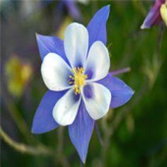 Cỏ bồ câu có hoa dáng mảnh khảnh, duyên dáng, thanh lịch, sống nhiều năm. Hoa có nguồn gốc Bắc Mỹ và Á ôn đới. Có khoảng 120 loài có tính chịu đựng cao. Có thể trồng thành cụm trong một khóm hoa hỗn hợp.
