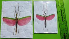 Rose Winged Flying Stick Bug Insect Marmessoidea rosea Male FAST SHIP FROM USA