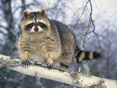I  <3 raccoons