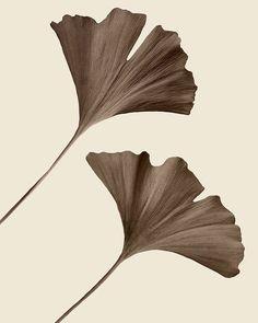 minimalist botanical art, ginkgo leaf, chocolate brown, autumn decor - Flight 8 x 10