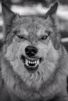 Lol this will be my wolf