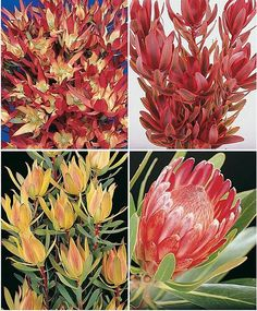 Protea Leucadendron: (left -up, down- right - up, down) L. Jack Harre, L. Jester, L. Maui Sunset & P. Lancelot