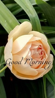 good morning greetings - good morning - good morning quotes - good morning quotes inspirational - good morning quotes for him - good morning beautiful - good morning wishes - good morning images - good morning greetings Gud Morning Wishes, Good Morning Beautiful Flowers, Good Morning Today, Morning Greetings Quotes, Good Morning Messages, Morning Msg, Good Morning Beautiful Quotes, Good Morning Handsome, Good Day Quotes