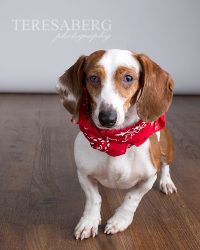 Picasso is an adoptable Dachshund Dog in Colleyville, TX. HIS STORY: Picasso, a red and white double dapple smooth male, was impounded as a stray by an area animal shelter. When no owner came to claim...