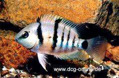 Cryptoheros Cutteri Tropical Aquarium, Tropical Fish, Central America, South America, Freshwater Aquarium Fish, Aquarium Ideas, African Cichlids, Marine Life, Reptiles