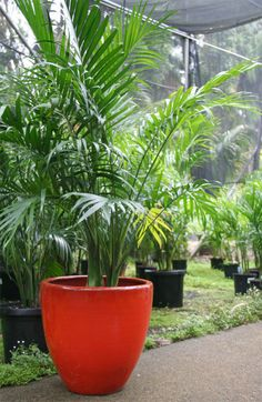 Cascade palm (Chamaedorea Cataractarum) (aka Mexican Hat Palm or Atrovineis) - native to Mexico  Great in a pot