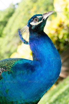 Realistic Graphic DOWNLOAD (.ai, .psd) :: http://jquery-css.de/pinterest-itmid-1006948665i.html ... Peacock ...  animal, beak, bird, blue, close up, colorful, crest, exotic, feathers, fowl, head, peacock, tropical  ... Realistic Photo Graphic Print Obejct Business Web Elements Illustration Design Templates ... DOWNLOAD :: http://jquery-css.de/pinterest-itmid-1006948665i.html
