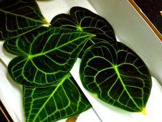 Green Begonia Leaves