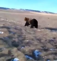 A driver says he was merely herding the grizzly bear away from livestock, but federal authorities are investigating.