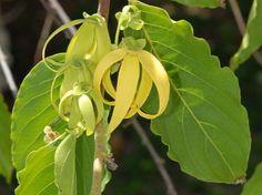 Olio essenziale di Ylang Ylang   <3
