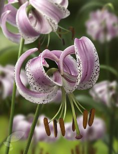 Lilium lankongense - asiatic lily
