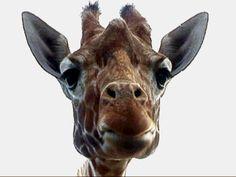 Après avoir détruit la barrière de son enclos à coups de patte, une girafe s'est échappée d'un cirque en compagnie de plusieurs autres animaux.