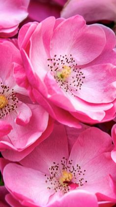 Beautiful Chinese/Asia pink Plum Blossoms & Lotus #flowers