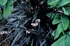 Ophiopogon planiscapus 'Nigrescens', also known as Black Mondo Grass, is an evergreen perennial that provides stunning contrast to the garden. East Facing Garden, Black Mondo Grass, Rock Garden Plants, Garden Pots, Seaside Garden, Short Plants, Herbaceous Border, Shade Flowers, Black Flowers