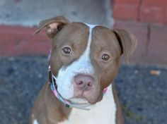 TO BE DESTROYED 10/21/14 Brooklyn Center -P  My name is SYNDER. My Animal ID # is A1016009. I am a male brown and white pit bull mix. The shelter thinks I am about 1 YEAR  ***$150 DONATION to NEW HOPE RESCUE that pulls!!***  I came in the shelter as a STRAY on 10/01/2014 from NY 11203, owner surrender reason stated was STRAY.
