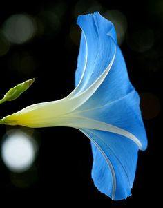 ~~Ipomoea tricolor `Heavenly Blue' ~ morning glory by nobuflickr~~