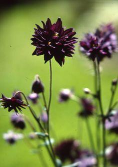 Tummanpuhuvat, lähes mustat kukat yllättävät. Kokeile näitä näyttäviä katseenkääntäjiä.