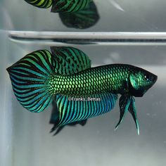 Knowing All Types Of Betta Fish - By Tail, Pattern And Color With Photo And Description - The betta fish is also called Siamese fighting fish is one of the popular fish are keeping by fish hobbies. Betta Fish Types, Betta Fish Tank, Beta Fish, Betta Aquarium, Tropical Fish Aquarium, Aquariums, Underwater Animals, Fish Wallpaper, Siamese Fighting Fish
