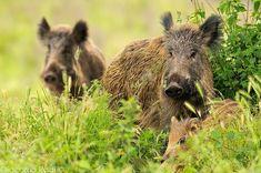 cignale wild boar Wild Spirit, Wild Boar, Art Of Living, Creepers, Grape Vines, Woodland, Hunting, Wildlife, Nature