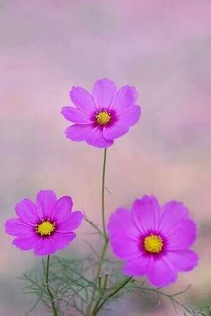 I love cosmos flowers. They add such grace to a garden. Cosmos Flowers, My Flower, Colorful Flowers, Wild Flowers, Beautiful Flowers, Foto Art, Jolie Photo, Planting Flowers, Bloom