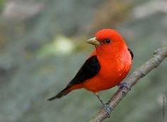 Scarlet Tanager - Don't see these very often.  I've only seen two in over 20…