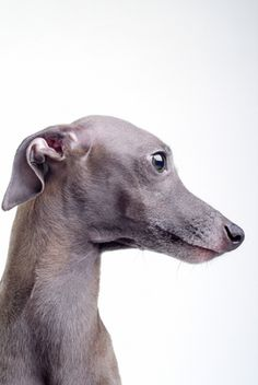 Italian Greyhound dog art portraits, photographs, information and just plain fun. Also see how artist Kline draws his dog art from only words at drawDOGS.com #drawDOGS http://drawdogs.com/product/dog-art/italian-greyhound-dog-portrait-by-stephen-kline/ He also can add your dog's name into the lithograph.