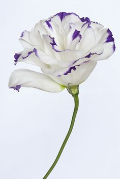 White & Purple Lisianthus Cadbury Purple Wedding, Purple Aesthetic, All Things Purple, Deep Purple, Wedding Inspiration, Wedding Ideas, All The Colors, Planting Flowers, Wedding Flowers