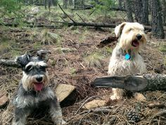 Schnauzer adventures in Angel Fire, New Mexico