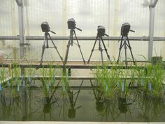 #PlantDoctors Get to the Root of #PlantStress in #Rice #Agriculture