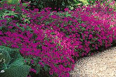 Le géranium psilostémon 'Bressingham Flair', ainsi que la variété 'Patricia' ont des fleurs rouge magenta à cœur noir et une hauteur moyenne de 60 cm environ. Le feuillage, très découpé et bien sain, disparaît vite sous l'abondance des fleurs. Comme de nombreuses autres variétés, vous les utiliserez en bordure ou en milieu de massif avec des vivaces, des rosiers ou de petits arbustes.