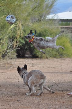 Just in case there's any question why I want an Australian cattle dog once I have the money to take care of one.