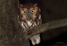 Eastern Screech Owl Red Morph   Flickr - Photo Sharing!