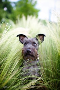 sweet pumpkin how adorable is this mini Schnauzer and great picture too