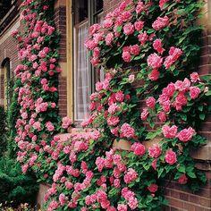 Zephirine Drouhin Climbing Rose Beautiful, Full Pink Color with Intoxicating Bourbon Fragrance! #frontyardlandscaping