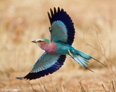 Lilac-breasted Roller, Nambia; wildlife photography by Nate Chappell