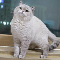 폴라 #브리티쉬숏헤어 #브리티쉬캐터리 #캐터리 #캐논 #캣스타그램 #펫 #펫스타그램 #고양이 ... Follow us on Instagram :D #cats #cat #catlover #lovecats #funny #fun #cute #socute #feline #felines #felinefriend #fur #furry #paw #paws #kitten #kitty #kittens #kittycat #kittylove #fluffy #fluff