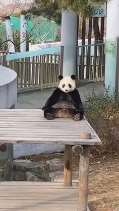 #happy #nice #cute #funny #animals #adorable #panda Funny Husky Pictures, Funny Husky Meme, Funny Cat Photos, Husky Jokes, Panda Gif, Panda Bear, Panda Video, Panda Love, Cute Panda