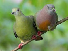 Pink-necked Green Pigeon Pair, via Flickr.