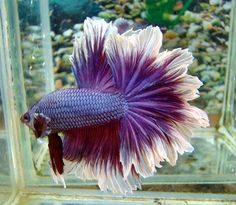 "Feathertail Betta: Rosetail and Feathertail is an extreme Halfmoon with excessive branching of the rays giving the tail a ""ruffled"" edge. It has so much finnage that it overlaps like a rose. These fish are hard to breed on as the excessive mutations that cause the branching can lead to other mutations such as poor scales and short ventral fins. Can be seen in longfin and shortfin. http://betta-plakat.blogspot.com/2011_06_01_archive.html"