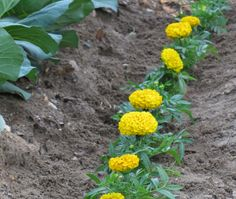 Marigolds are a wonderful natural pest repellent. I love tricks like this for protecting plants without pesticides.