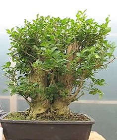 enorme ficus bonsai con ra ces a reas silvestres tengan en cuenta que el rbol parece estar. Black Bedroom Furniture Sets. Home Design Ideas