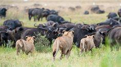Botsuana. Foto: Caters . - 1 (© Derechos Reservados de la British Broadcasting Corporation Corporación Británica de Radiodifusión 2012)