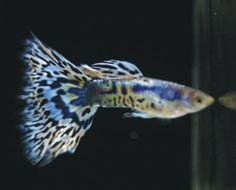 Galaxy Mosaic-Blue guppy