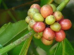 Coffea canephora at Aanakkulam. Coffee Plant, My Coffee, Houseplants, Borneo, Natural Remedies, Jamaica, Onion, Canning, Vegetables
