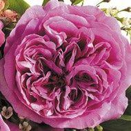 Cymbeline Garden Rose